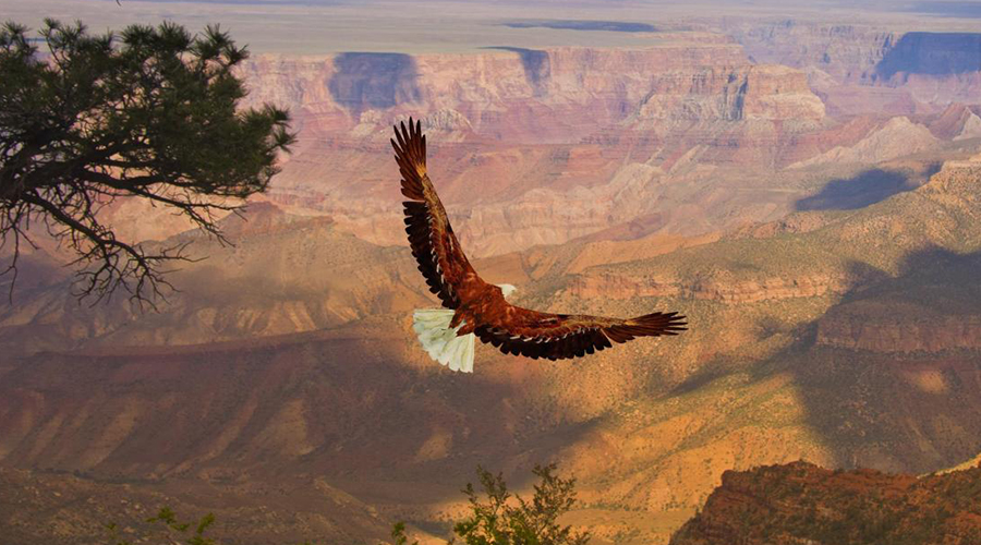 Grand Canyon West Rim Eagle Soaring 900 x 500