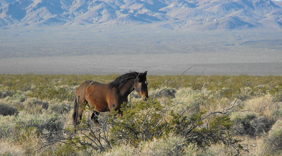 Wild Mustang at Death Valley